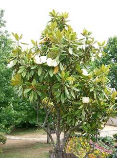 bull bay magnolia