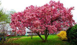 magnolia-tree-630524