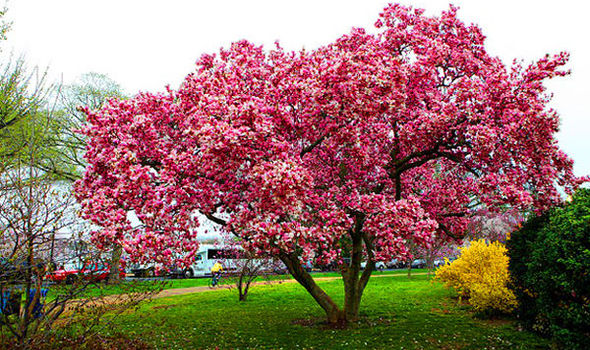 The Magickal Magnolia Tree Speaking Of Witch Wands Magickal Things