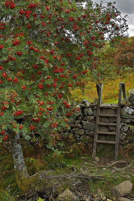 rowan tree in crafnant snowdonia