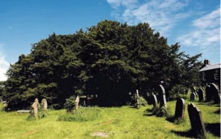 5000 yr old yew in dafynnod wales graveyard