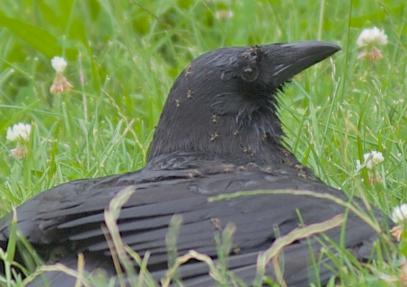 ant-crow