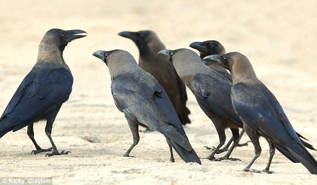 murder of british crows