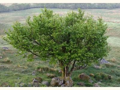 hazel-full-tree-woodland-trust