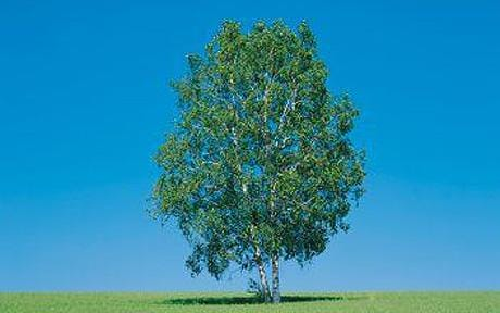 silverBirchTree_1403668c