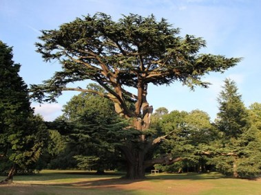 treeid-cedar01 woodlandtrust.org,uk