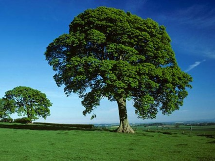 Sycamore Tree Woodlandtrust Org Uk