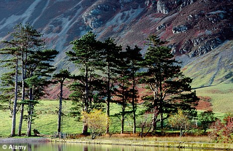 Scots Pines Buttersmere Valley Cumbria