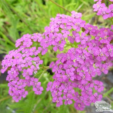 Yarrow - jacksonnurseries co uk