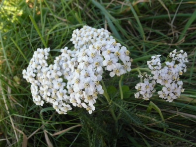 Yarrow - permaculture co uk
