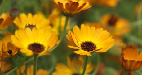 Calendula Indian Prince The Irish Times