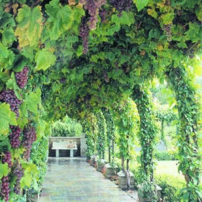 Grapevine Groves Nursery