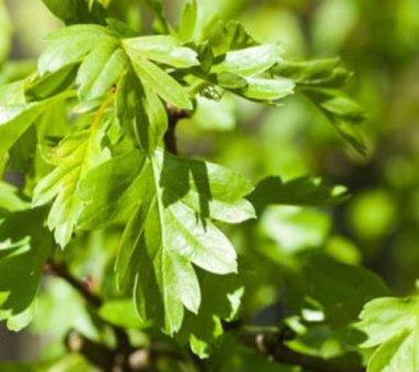 leaf-hawthorn woodlands co uk