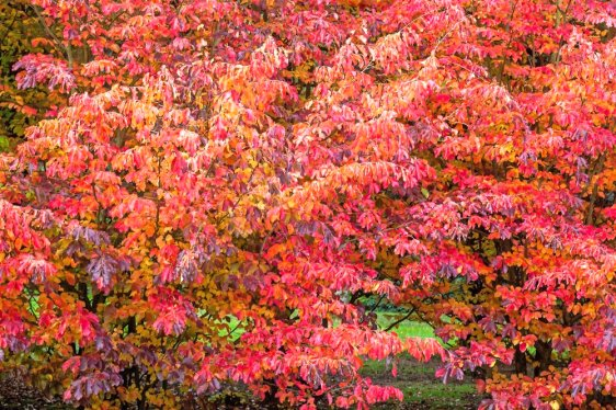Persian ironwood ,Parrotia persica, red autumn leaves