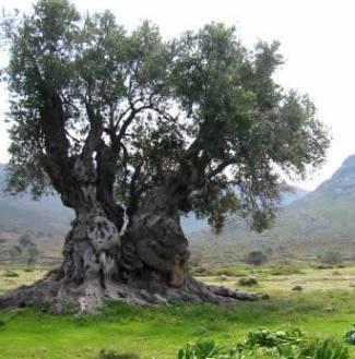 OliveTree druidswood co uk