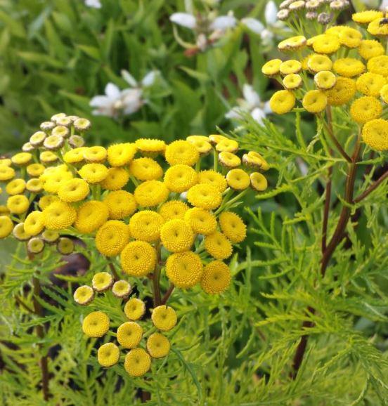 tanacetum-vulgare-isla-gold-farmyard-nurseries-uk