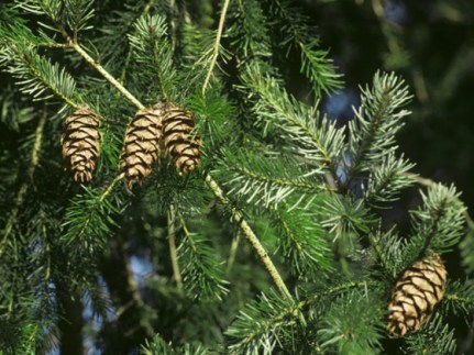 douglas-fir-needles-and-cones-andrew-cleave-NPL woodlandtrust