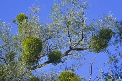 Yule Mistletoe Hertfordshire Life