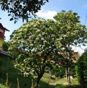 jasmine tree italy, brolo di nonio