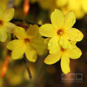 yellow jasmine-nudiflorum_grande
