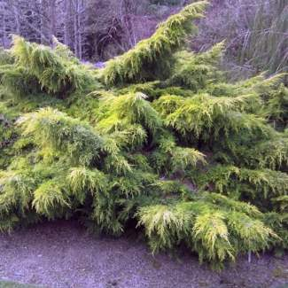 juniperus-ornamental-trees dot co dot uk