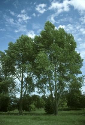 POPULUS NIGRA woodlandtrust org uk
