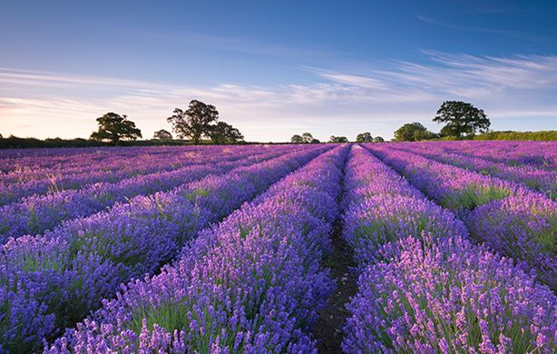Lavender field Snowshill Gloustershire countrylife dot co dot uk