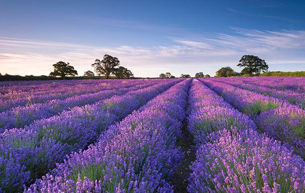 Lavender field Snowshill Gloustershire countrylife dot co dot uk