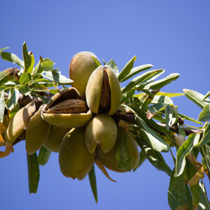 Almonds ripe