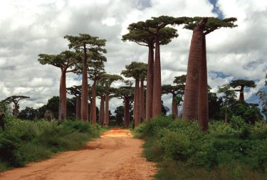 baobab-trees-Grandidier-Avenue-of-the-Baobabs