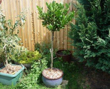 Bay Laurel Tree gardener focussed dot co dot uk