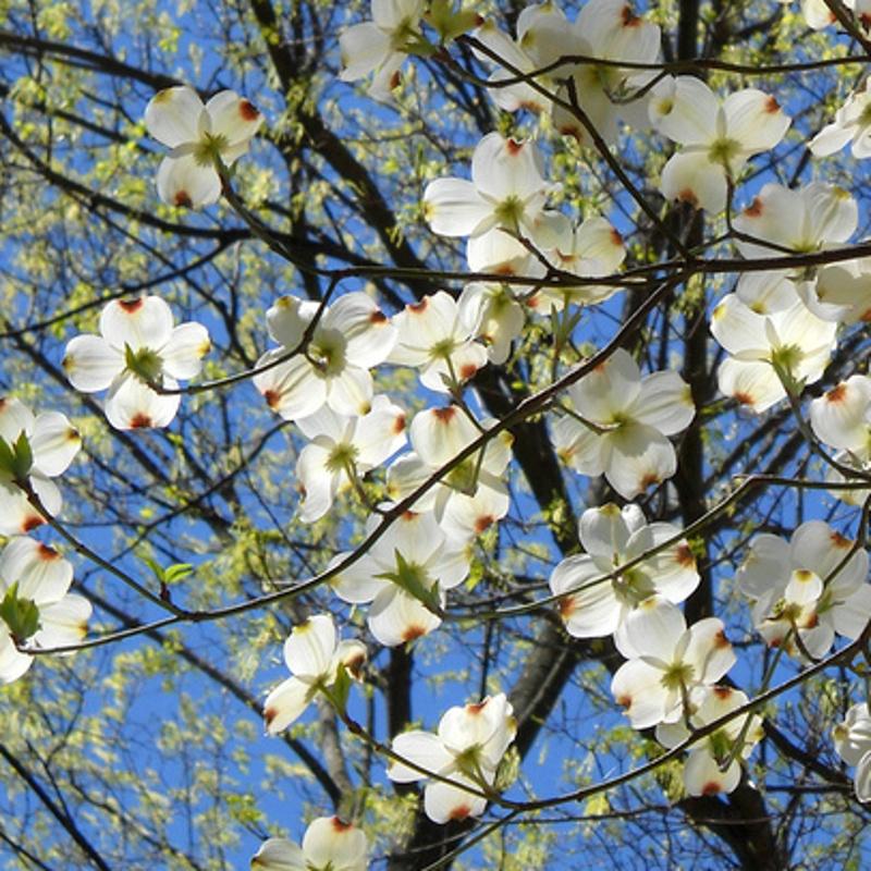 Dogwood cornus-florida-flowers-treesonline dot co dot uk