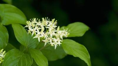 Dogwood Cornus Sanguinea flowers woodlandtrust